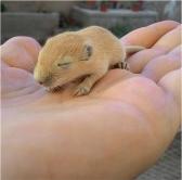 piccolo-gerbillo